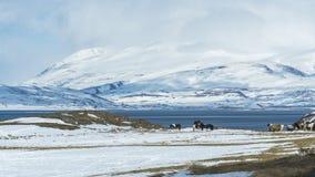 Eine schneebedeckte Landschaft mit den weiden lassenden Pferden Stockbild