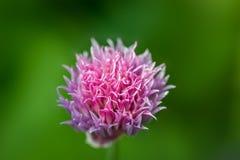 Eine Schnittlauchblume lizenzfreies stockbild