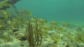 Eine Schule des gelben Fisch-Schwimmens auf Coral Reef stock video