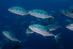 Eine Schule von Gelb-punktierten trevally Fischen stockfotos