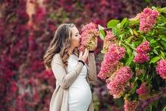 Eine schwangere junge Frau, die an der roten Herbsthecke, eine Blumenhortensie riechend steht schwangere Frau, die in sich entspa Lizenzfreies Stockbild