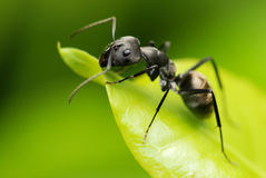 Eine schwarze Ameise Stockfotografie