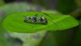 Eine schwarze Ameise Stockfotos