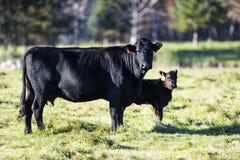 Eine schwarze Angus-Kuh und -kalb stockfotos