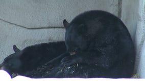 Eine schwarze Bärenfamilie stock video footage