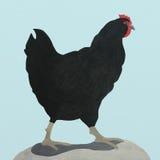 Eine schwarze Henne Abbildung Stockbild