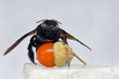 Eine schwarze Hummel hält eine künstliche Eichel und sitzt auf einem Marmorstein Stockfoto