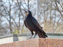 Eine schwarze Krähe Stockfotos