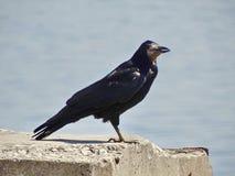 Eine schwarze Krähe Lizenzfreie Stockbilder