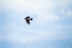 Eine schwarze Krähe Lizenzfreies Stockfoto