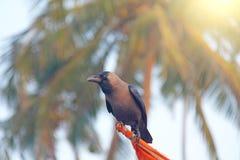 Eine schwarze Krähe sitzt auf die Oberseite, gegen einen Hintergrund von grünen Palmen C stockbilder