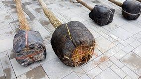 Eine schwarze Masche eingewickelt um die Wurzeln eines Baums Stockbild