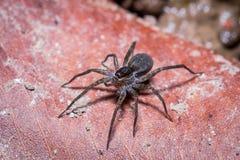 Eine schwarze springende Spinne auf getrocknetem Blatt Stockfotos