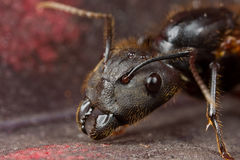 Eine schwarze winged Ameise Stockfoto