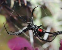 Eine schwarze Witwen-Spinne in seinem Netz Stockbilder