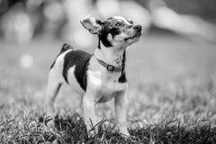 Eine Schwarzweiss--Jack Russell Terrier-Welpenstellung auf dem Gras, das oben schaut lizenzfreies stockbild