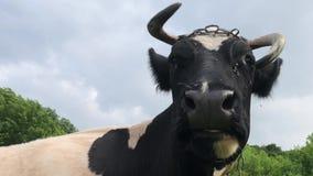 Eine Schwarzweiss-Kuh mit einem gekrümmten Horn, das in einer Weide stillsteht stock video footage