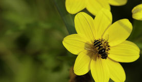 Eine Schwebfliege auf Blume Stockfoto