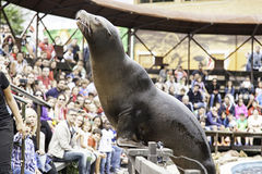 Eine Seelöweshow stockfoto