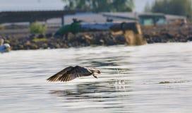Eine Seemöwe stockfoto