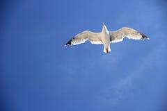Eine Seemöwe auf dem blauen Himmel als Hintergrund Stockfotografie
