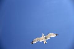 Eine Seemöwe auf dem blauen Himmel als Hintergrund Stockbild