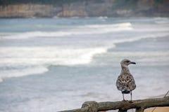 Eine Seemöwe, die über großen Strand des La, der große Strand von Biarritz aufpasst stockfoto