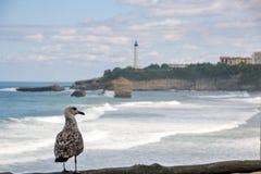Eine Seemöwe, die über großen Strand des La, der große Strand von Biarritz aufpasst lizenzfreies stockbild