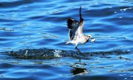 Eine Seemöwe, die einen Fisch fängt lizenzfreie stockbilder