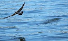 Eine Seemöwe, die weg mit einem Bunkerfisch fliegt stockfoto