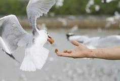 Eine Seemöwe essen Knistern von einer Mannhandfütterung lizenzfreie stockbilder