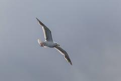 Eine Seemöwe fliegen lokalisiert auf dem weißen Himmel Stockbilder