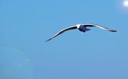 Eine Seemöwe im Flug auf einem blauen Himmel. Stockfotografie