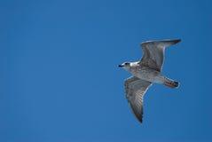 Eine Seemöwe im Himmel Lizenzfreie Stockfotografie