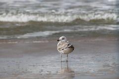 Eine Seemöwenstellung vor ankommenden Wellen und dem Schaum, die zurück aufpasst lizenzfreie stockfotos