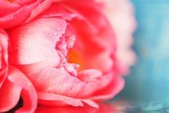 Eine sehr empfindliche rosa Knospe einer Pfingstrosenblumennahaufnahme auf einem blauen Hintergrund, unscharfes Bild Lizenzfreie Stockbilder
