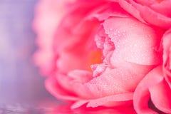 Eine sehr empfindliche rosa Knospe einer Pfingstrosenblumennahaufnahme auf einem blauen Hintergrund, unscharfes Bild Lizenzfreie Stockfotos