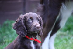 Eine sehr nette kleine Leber, die cocker spaniel-Haustierjagdhund mit rotem Kragen Arbeits ist Lizenzfreie Stockbilder