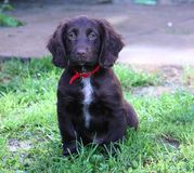 Eine sehr nette Leber, die cocker spaniel-Haustierjagdhund Arbeits ist Lizenzfreies Stockfoto