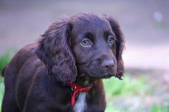 Eine sehr nette Leber, die cocker spaniel-Haustierjagdhund Arbeits ist Stockfoto