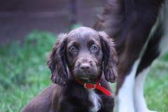 Eine sehr nette Leber, die cocker spaniel-Haustierjagdhund Arbeits ist Stockfotos