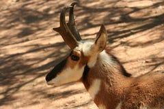 Eine Seitenansicht einer Pronghorn Antilope stockfotos