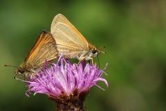 Eine Seitenansicht eines fügenden Paares von Essex Skipper Schmetterling Thymelicus-lineola, das gehockt wird und auf einer Blume Lizenzfreie Stockfotografie