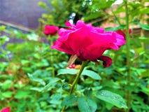 Eine Seitenansicht von schöner roter Rose u. von grünen Blättern lizenzfreies stockfoto