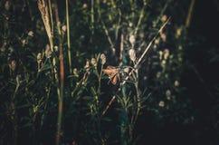 Eine seltene Motte sitzt auf einem Blatt Festungswald-Carterocephalus-silvicolus in einer Wiese von Feldgräsern im warmen Sonnens lizenzfreie stockfotos