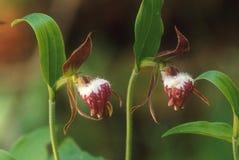 Eine seltene Orchidee, der Ram ` s Kopf-Dame ` s Pantoffel wird geschützt Lizenzfreie Stockbilder