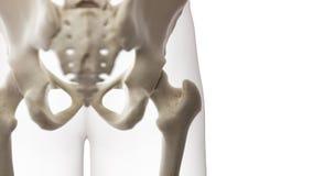 Eine skelettartige Hüfte stock abbildung