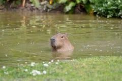 Eine Solo- Capybaraschwimmen stockfotos