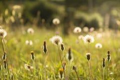 Eine Sommerwiese, die künstlerisch mit wilden Blumen und Löwenzahn verwischt wurde, hob durch die Abendsonne hervor lizenzfreie stockfotos