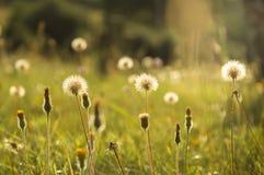 Eine Sommerwiese, die künstlerisch mit wilden Blumen und Löwenzahn verwischt wurde, hob durch die Abendsonne hervor stockfotografie